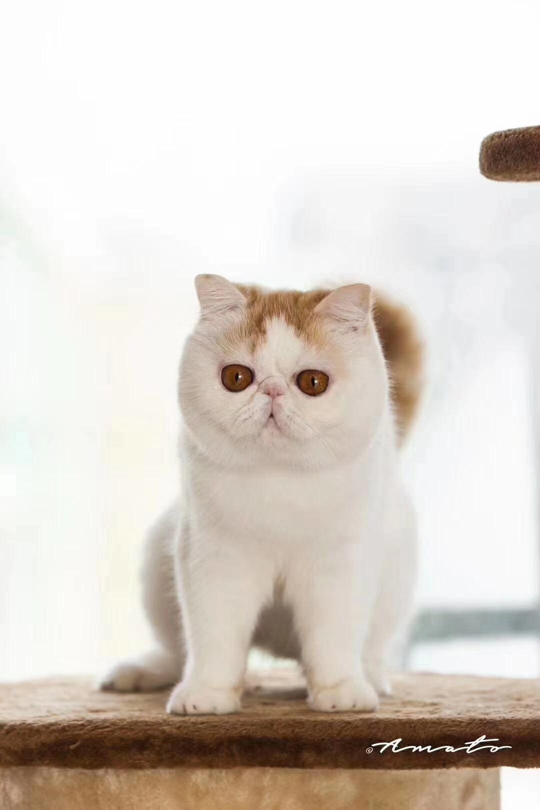 出售纯种加菲猫咪 生活自理健康活泼可爱萌萌 签订协议