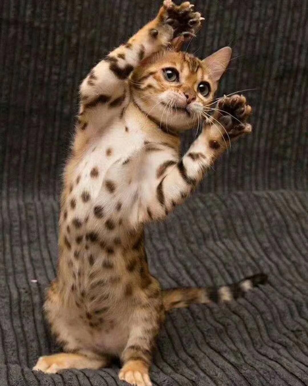 自家繁殖出售精品豹猫,玫瑰纹,活泼,健康