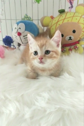 自家繁殖出售曼基康矮脚猫,包健康,多只可挑选