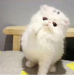 猫舍出售精品波斯猫,长相甜美,健康活泼,包健康纯种