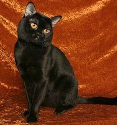 猫舍繁殖出精品缅甸猫,黑猫,可送货上门