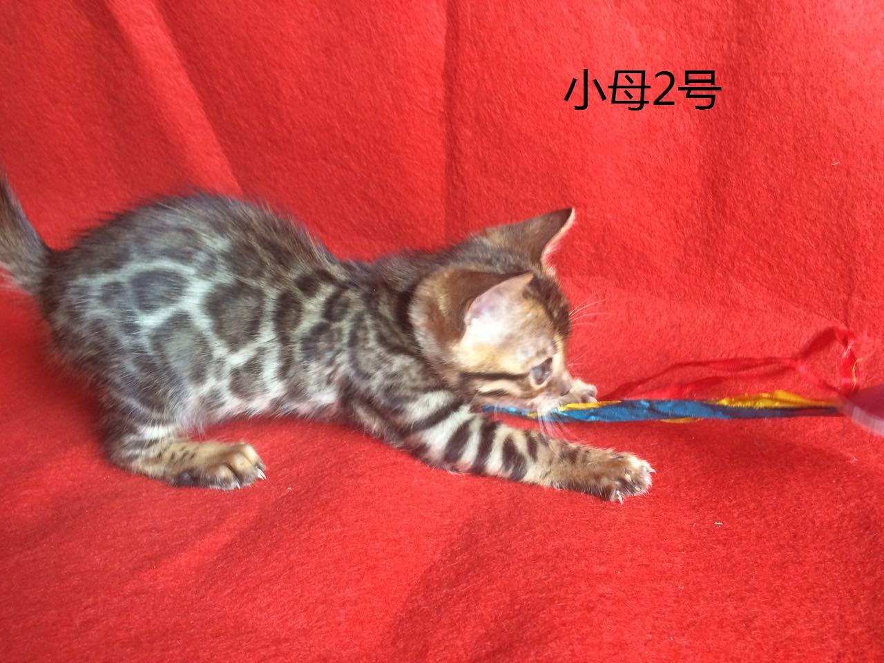 野性外表温柔家猫性格 时尚 漂亮 孟加拉豹猫