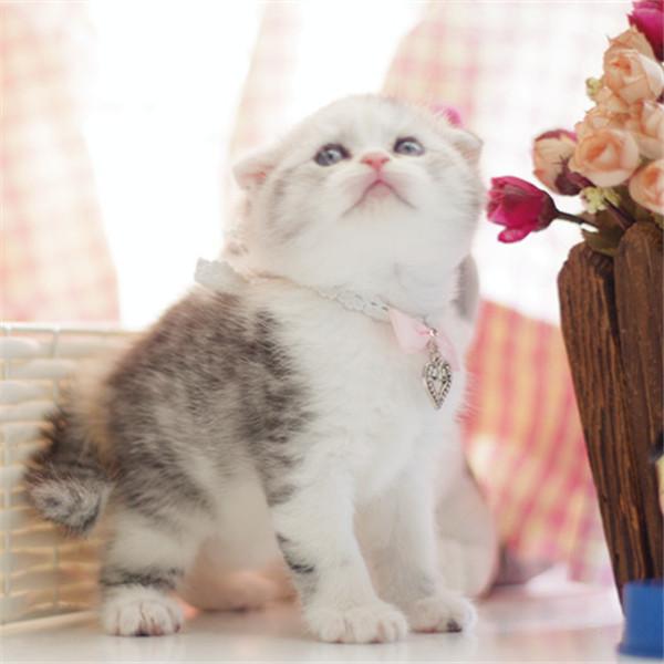 宠物小猫咪蓝色猫活体短毛英国猫幼猫折耳加菲布偶猫种苗活体