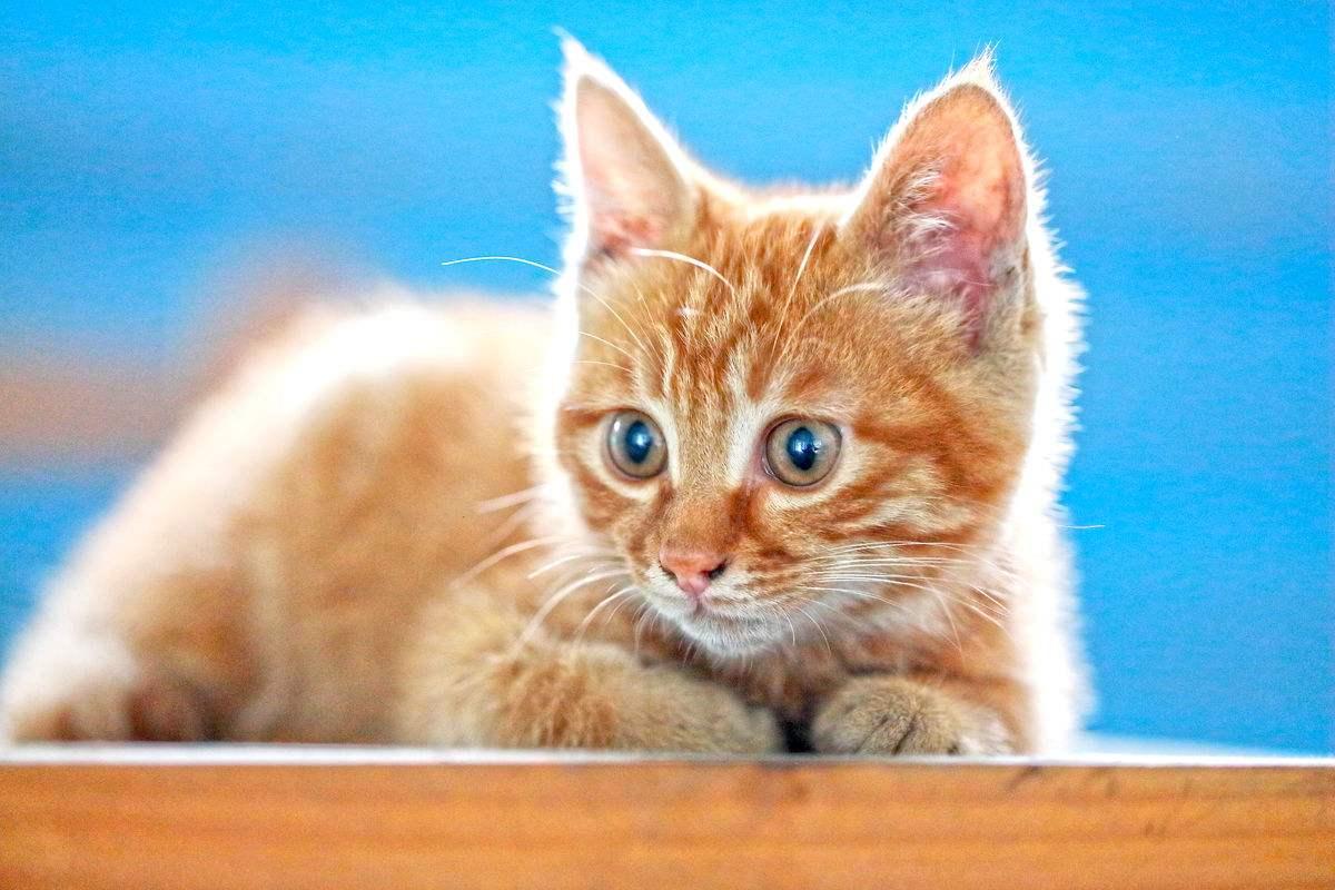 猫舍繁殖精品中华田园猫狸猫土猫狸猫多少钱一只包健康保养活