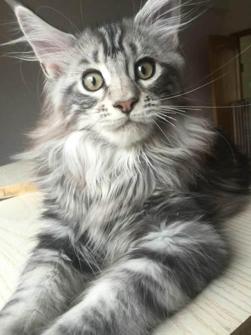 基地繁殖 纯种缅因猫 缅因猫好养吗 缅因猫多少钱 缅因猫吧
