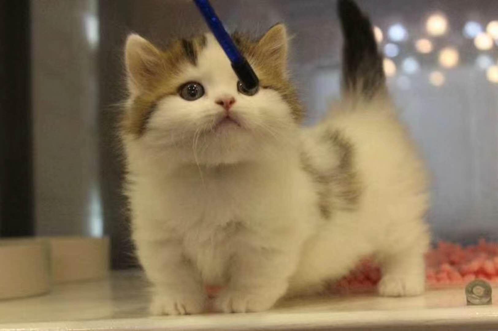 曼基康矮脚猫 小短腿猫DDMM找新家~~多只可选