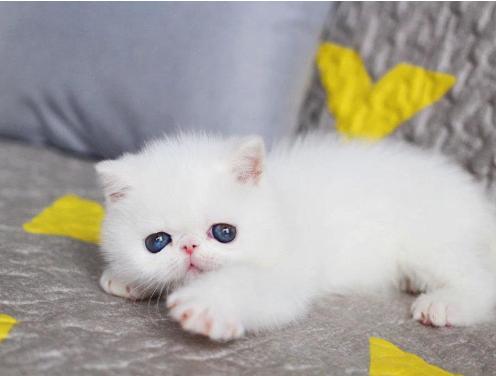 本地专业繁殖波斯猫 保纯种健康品相完美 签协议