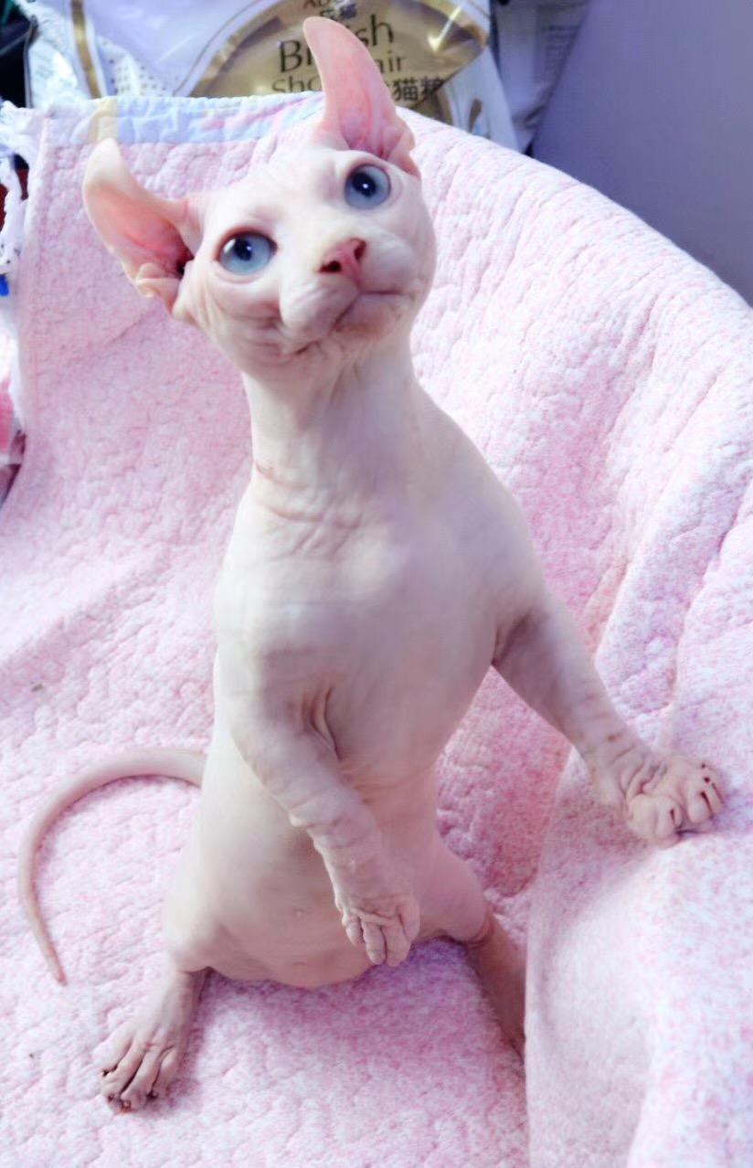 自家繁殖无毛猫精灵宝石眼国外引进血统包纯种包养活