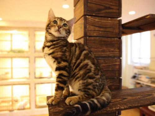 纯种孟加拉豹猫幼猫活体玫瑰空心花纹豹猫花纹清晰