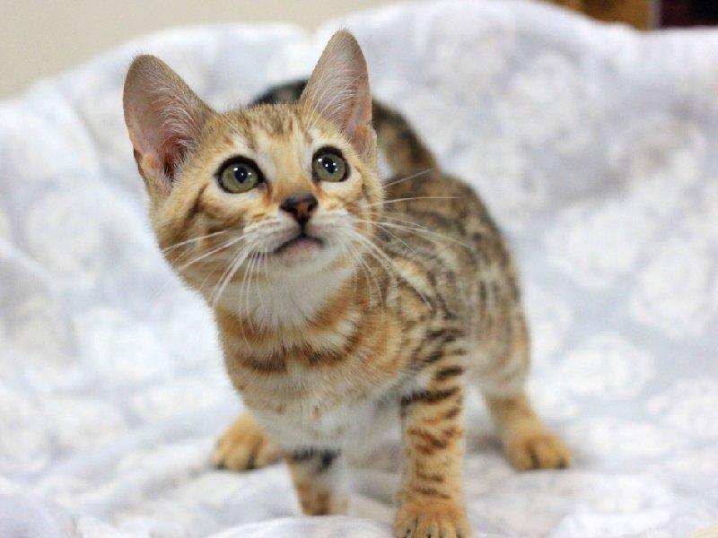 孟加拉宝宝猫猫 疫苗已做 纯种 性格温和乖巧可爱