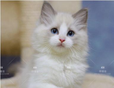 高品质英短、蓝猫、蓝白品种猫咪包纯种保健康。签合同