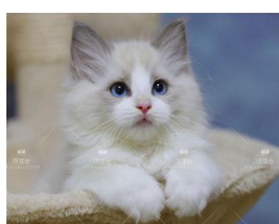 特价甩!英短蓝白,蓝白,银渐层,金渐层美短加白虎斑