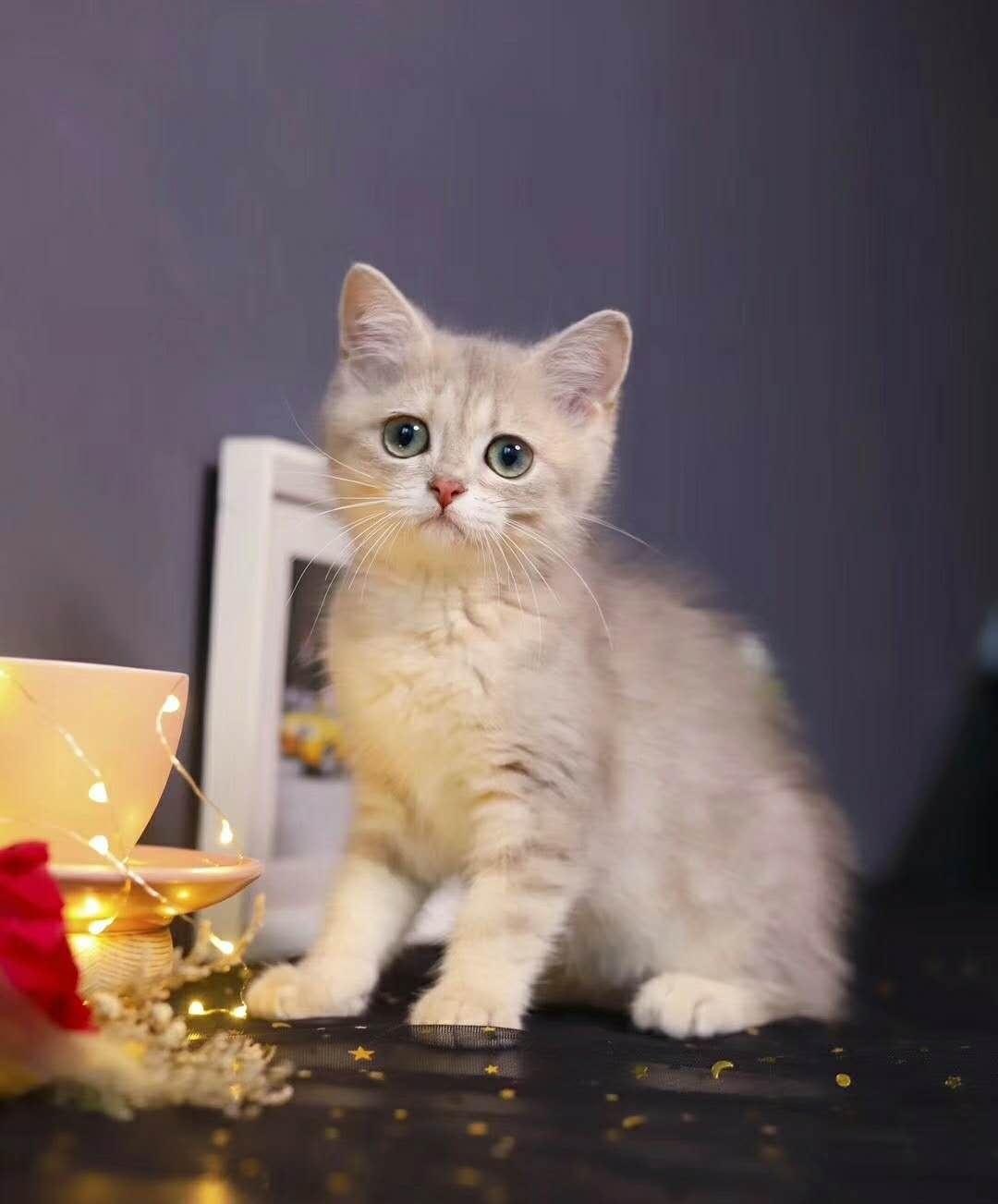 猫舍出售纯种 渐层猫 包纯种健康 疫苗做全 支持全国飞