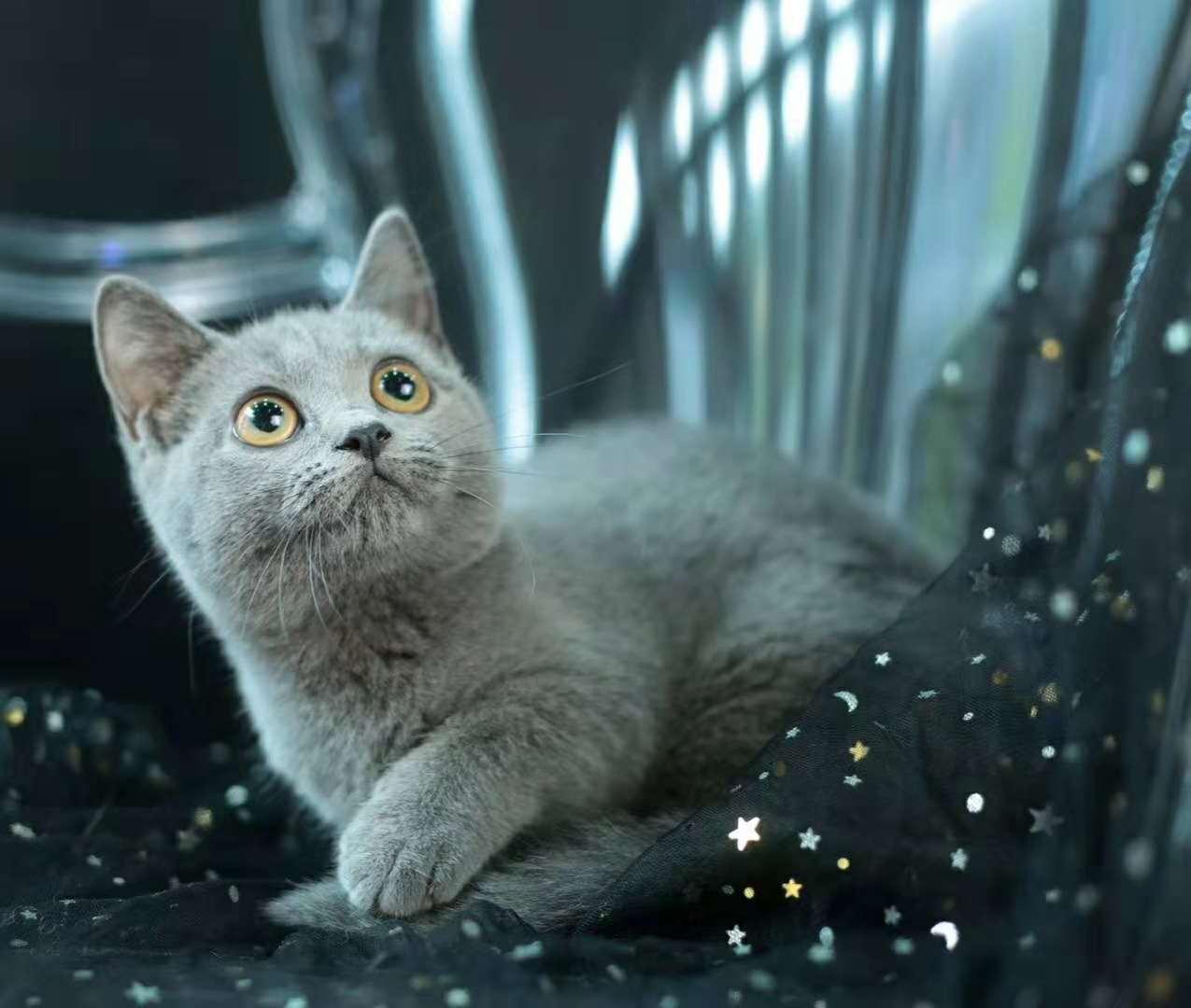 美国CFA认证猫舍 英短 蓝猫 优惠送不停