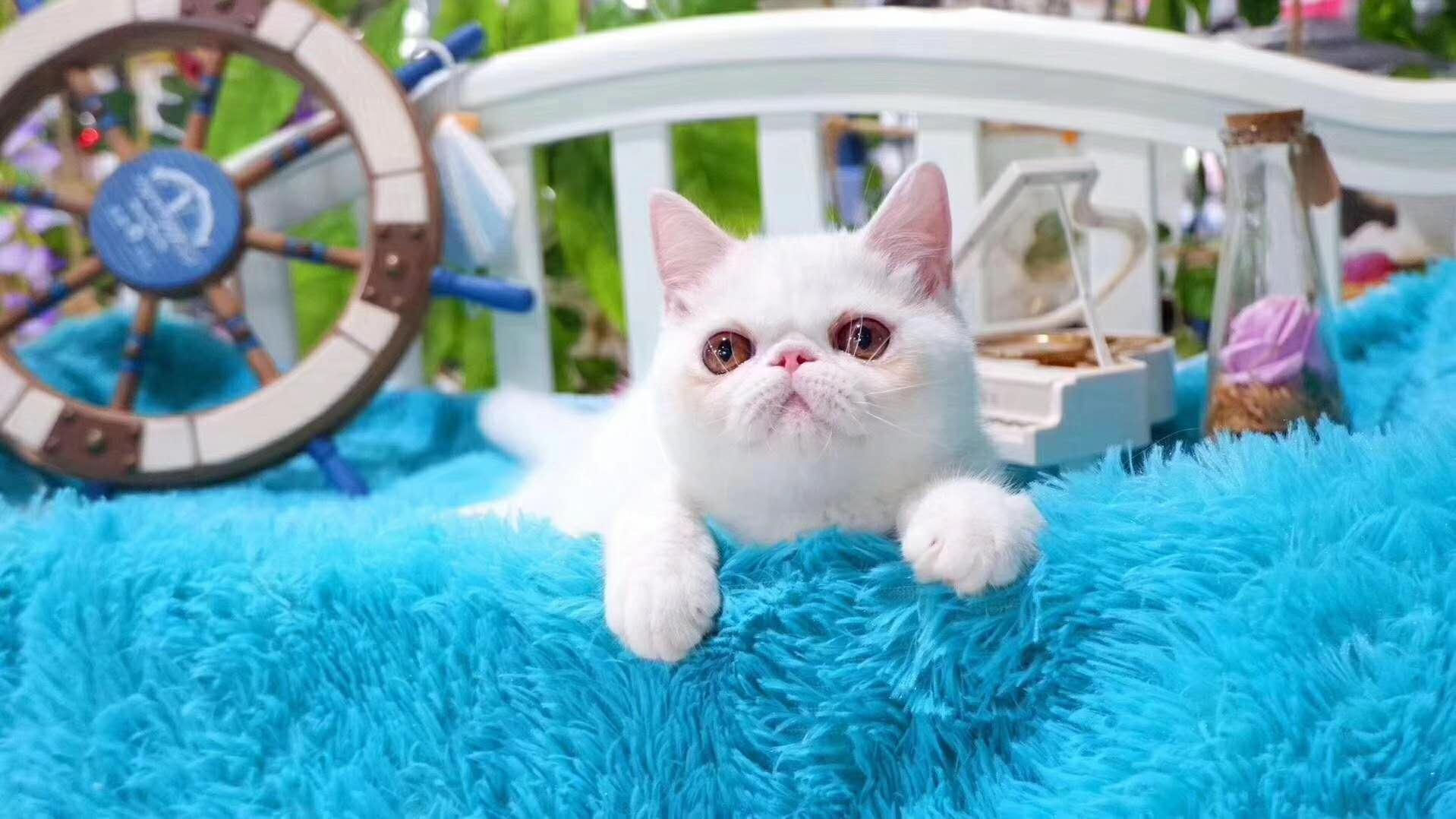 猫舍出售纯种 加菲猫 包纯种健康 支持全国飞