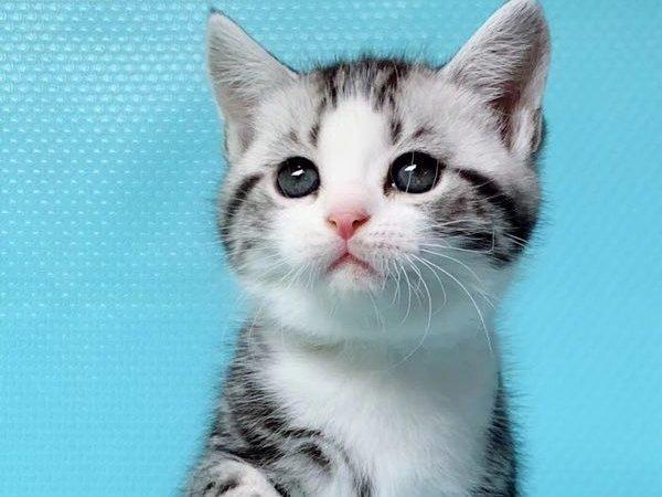 好消息 好消息 本猫舍所有猫咪特价处理 包纯种健康