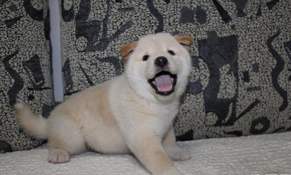 上海哪有纯种的柴犬卖 本犬舍欢迎您的到来 包纯包健康