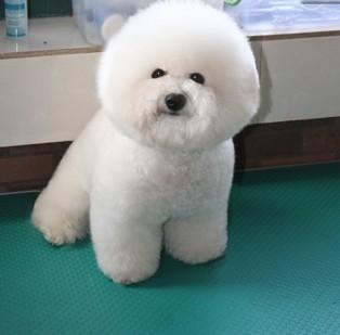 上海哪有纯种的比熊卖?本犬舍欢迎您的到来 包纯包健康