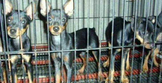 上海哪里有纯种的小鹿犬卖 本犬舍欢迎您的到来 包纯包健康