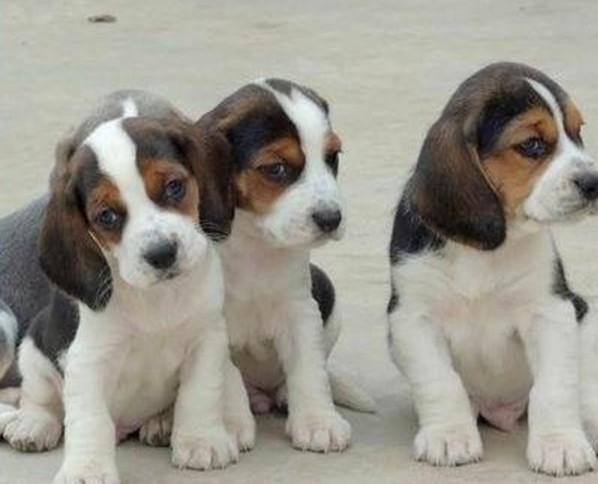 上海哪里有纯种的比格犬卖 本犬舍欢迎您的到来 包纯包健康