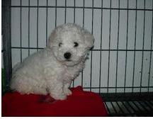 苏州哪里有纯种泰迪犬出售 大众犬业欢迎您的到来 颜色齐3