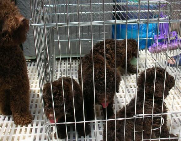 苏州哪里有纯种泰迪犬出售 大众犬业欢迎您的到来 颜色齐4