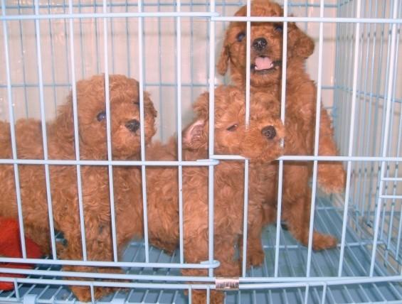 苏州哪里有纯种泰迪犬出售 大众犬业欢迎您的到来 颜色齐2
