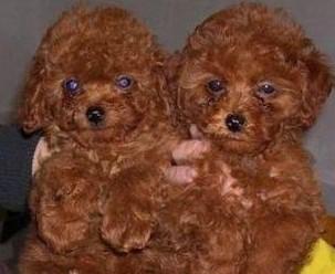 苏州哪里有纯种泰迪犬出售 大众犬业欢迎您的到来 颜色齐1