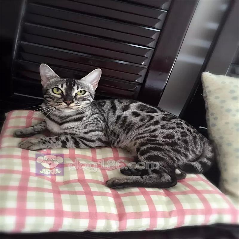 孟加拉豹猫活体 幼猫空心大玫瑰金钱豹纯种宠物猫招财猫