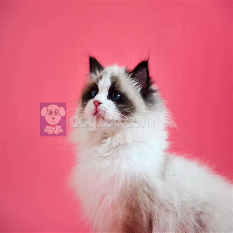 出售满耳满背完美布偶猫仙女猫无色块带证书支持上门挑选