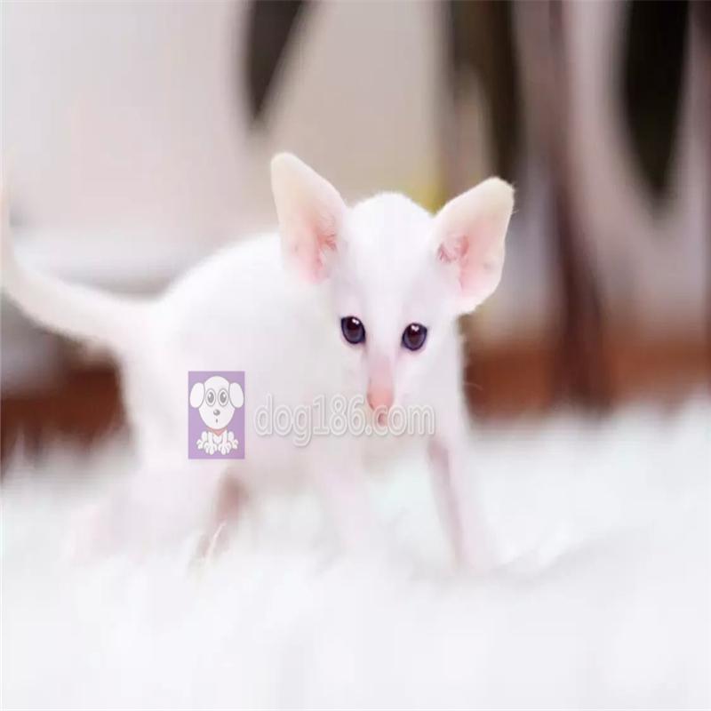 出售抖音 网红 无毛 蓝猫 美短 橘猫 包健康包养活