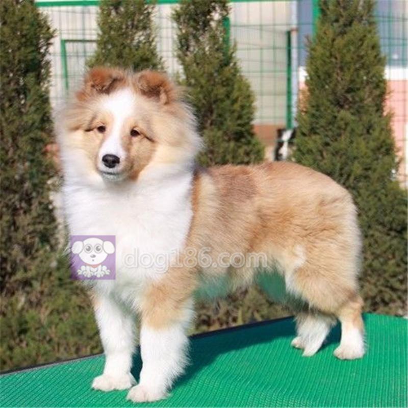 正规犬舍繁殖的赛级双血统喜乐蒂牧羊犬 保证健康纯种