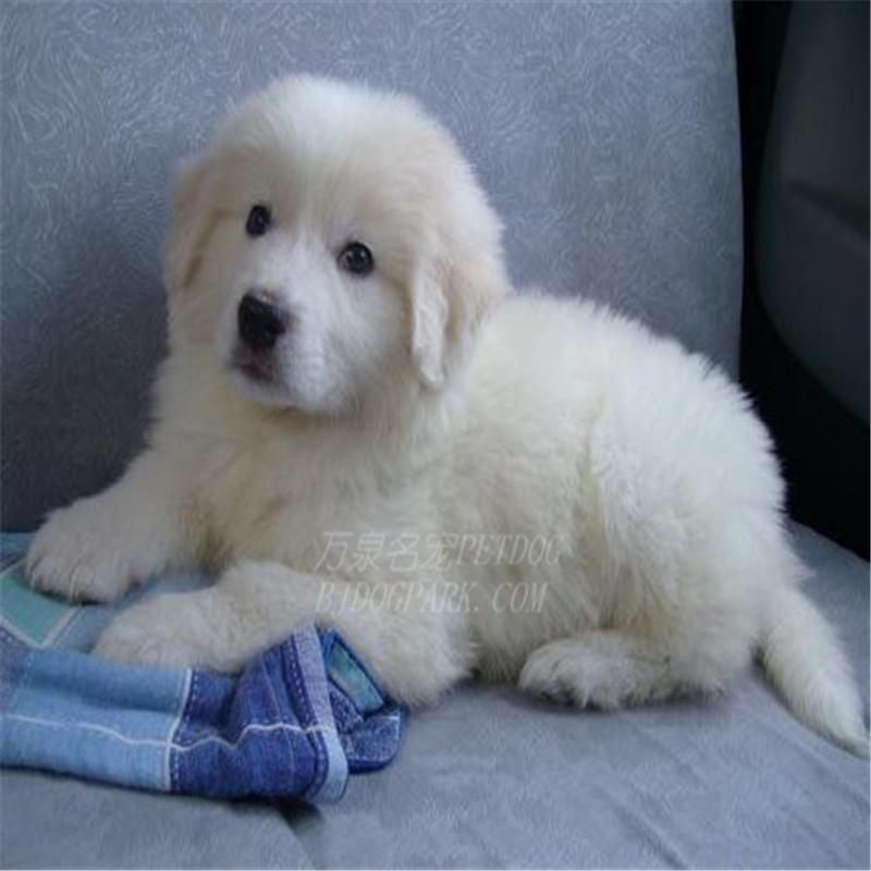 出售纯种大白熊犬活体宠物狗狗大白熊幼犬巨型大白熊小狗崽3