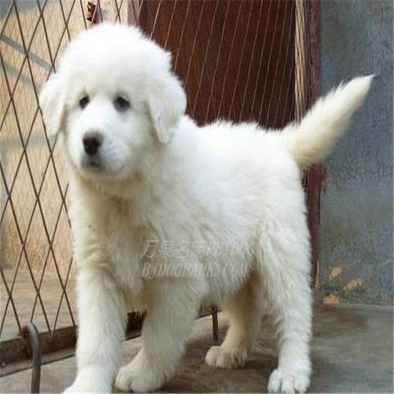 出售纯种大白熊犬活体宠物狗狗大白熊幼犬巨型大白熊小狗崽9