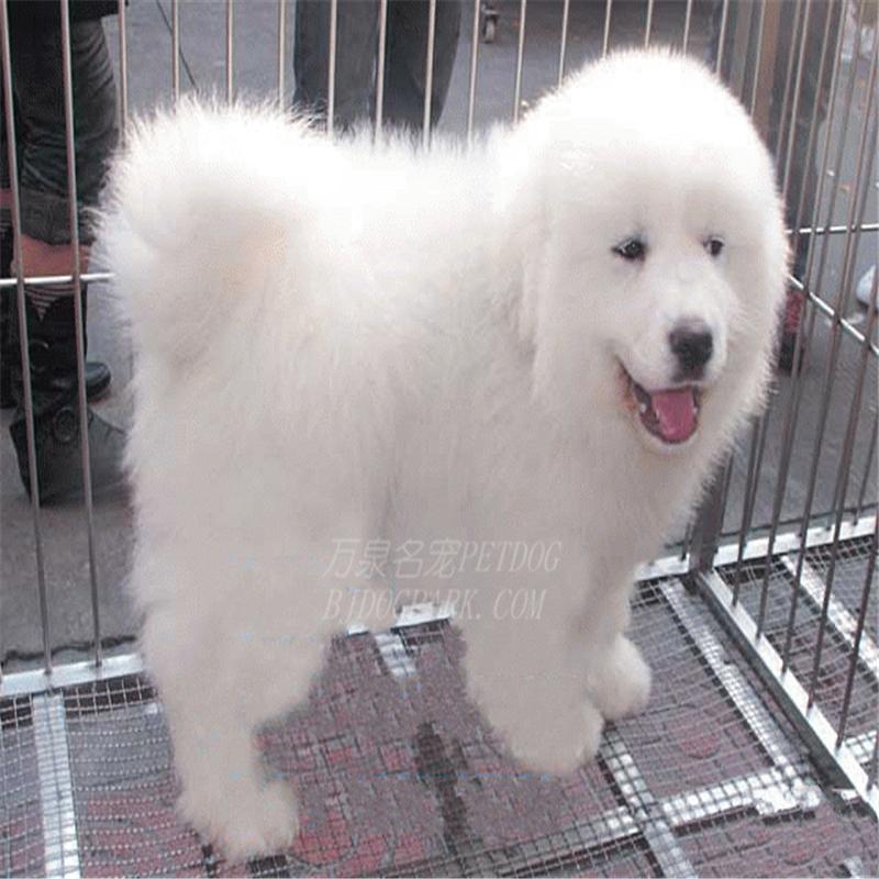 出售纯种大白熊犬活体宠物狗狗大白熊幼犬巨型大白熊小狗崽