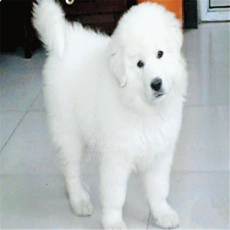 出售纯种大白熊犬活体宠物狗狗大白熊幼犬巨型大白熊小狗崽2