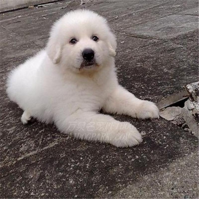 出售纯种大白熊犬活体宠物狗狗大白熊幼犬巨型大白熊小狗崽6