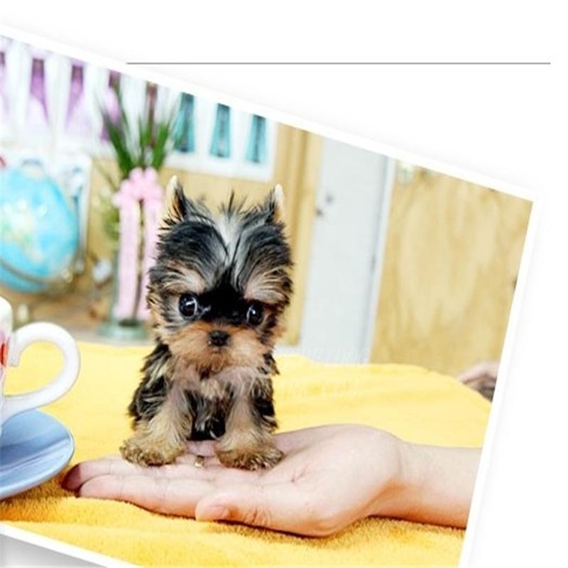 纯种约克夏幼犬活体狗狗 美丽优雅约克夏梗犬