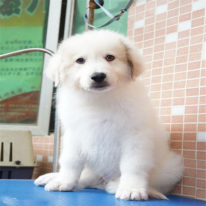 出售纯种大白熊犬活体宠物狗狗大白熊幼犬巨型大白熊小狗崽4