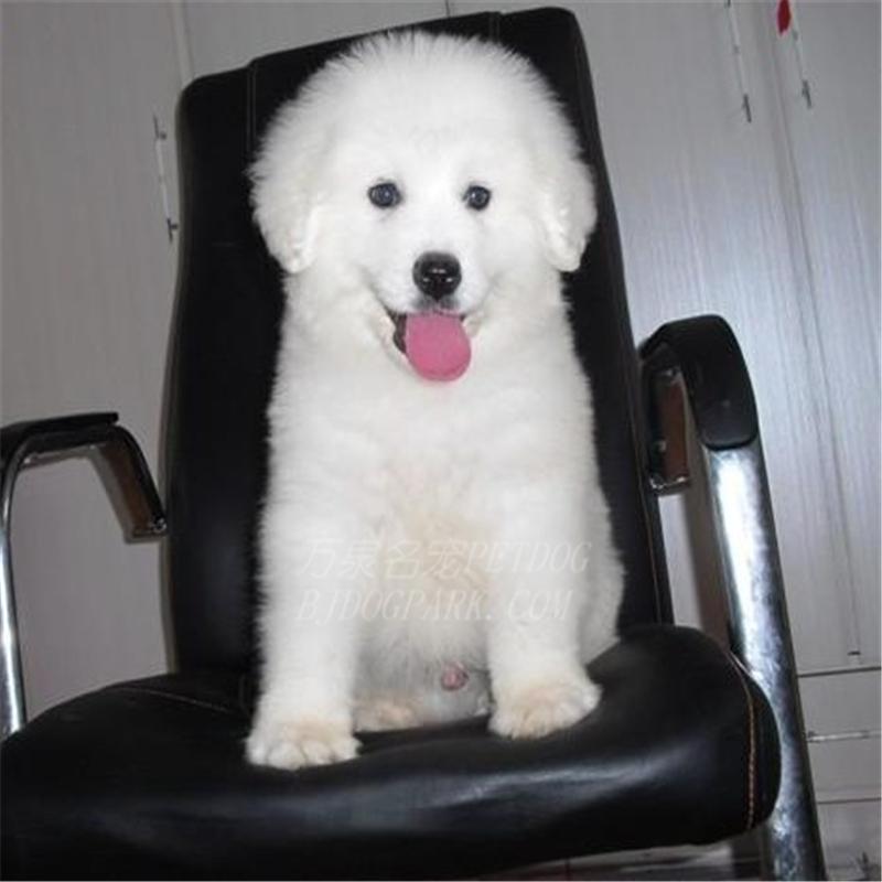 出售纯种大白熊犬活体宠物狗狗大白熊幼犬巨型大白熊小狗崽7