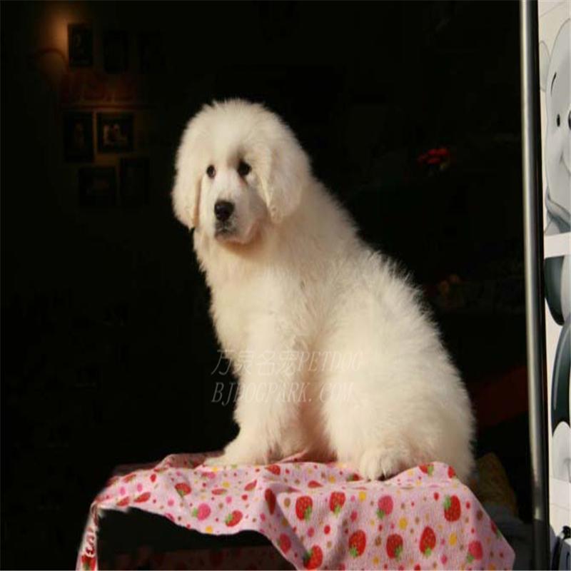 出售纯种大白熊犬活体宠物狗狗大白熊幼犬巨型大白熊小狗崽5