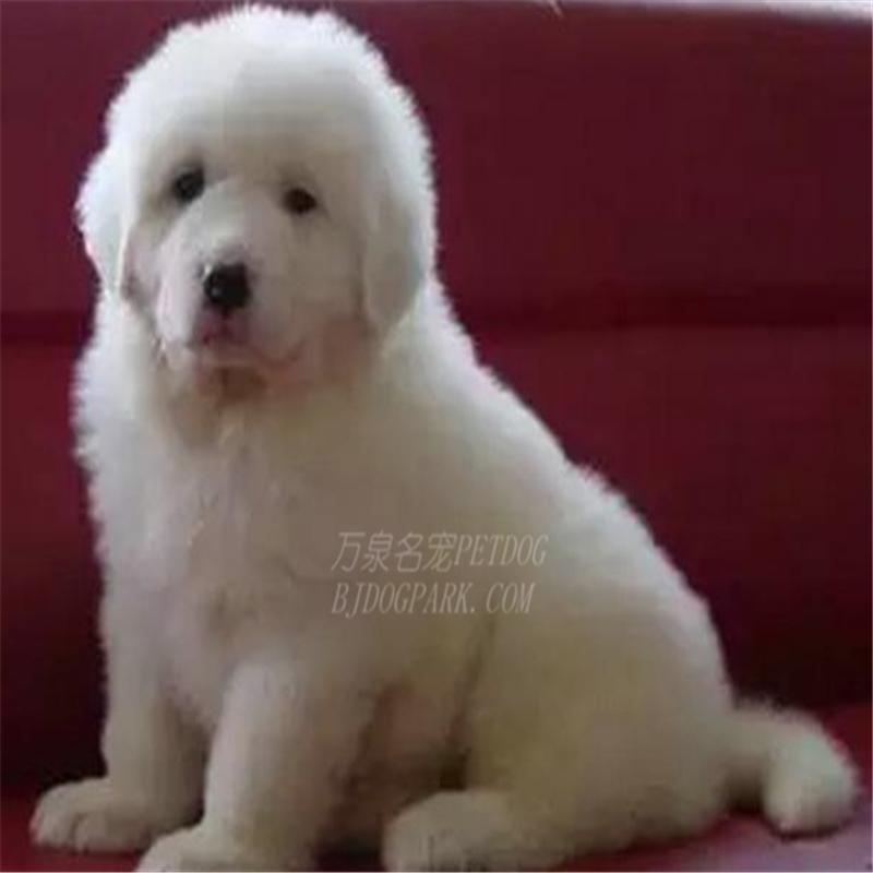 出售纯种大白熊犬活体宠物狗狗大白熊幼犬巨型大白熊小狗崽8