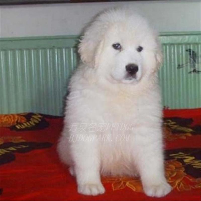 出售纯种大白熊犬活体宠物狗狗大白熊幼犬巨型大白熊小狗崽10