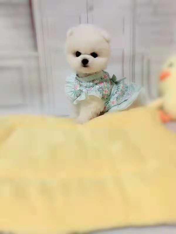 俊介犬网红犬 长不大球体宝宝专业繁殖2
