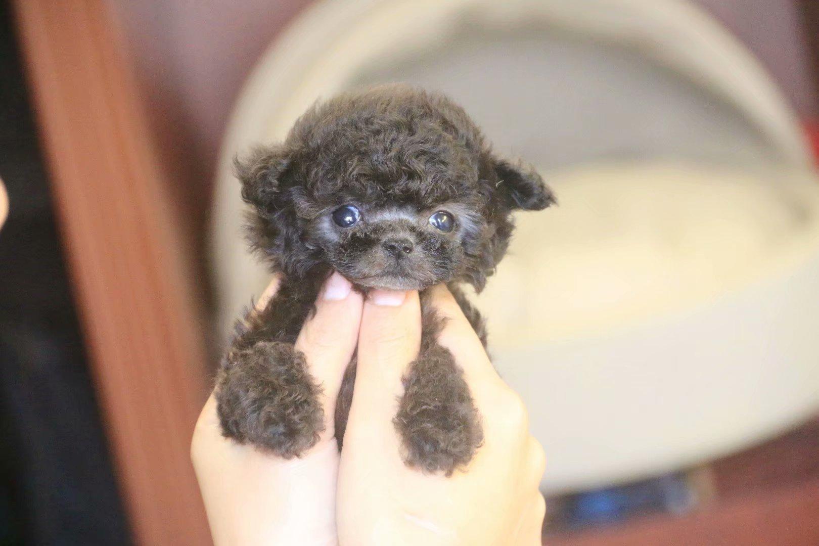 萌萌可爱小方体茶杯犬 纯种泰迪各种颜色都有