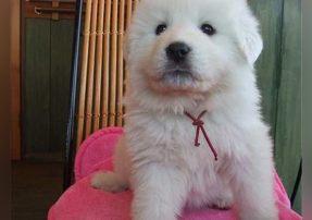 犬舍繁殖纯种大白熊 双血统纯种健康白熊宝宝待售中