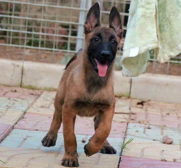 犬舍直销赛级血统纯种健康马犬宝宝