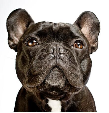 精品法国斗牛出售中 幼犬很多欢迎亲自来挑选