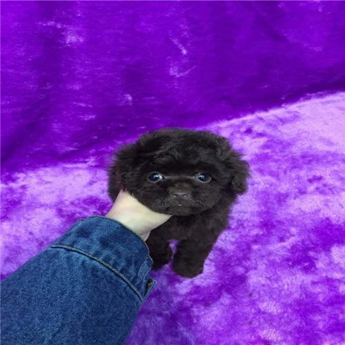 泰迪犬幼犬出售中,纯度第一价位最低,购犬可签协议2