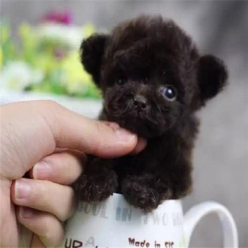 泰迪犬幼犬出售中,纯度第一价位最低,购犬可签协议4
